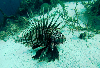 Lion fish at the Cas Abou reef.