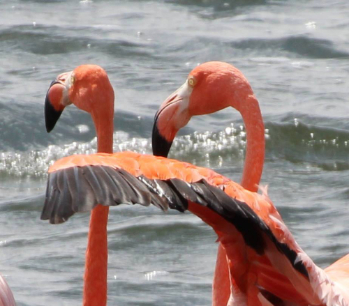 Two flamingos hanging out.