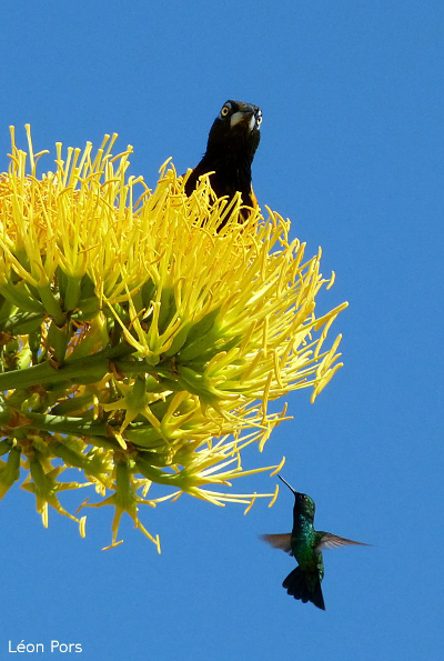 An oriole and a hummingbird sharing a flower...
