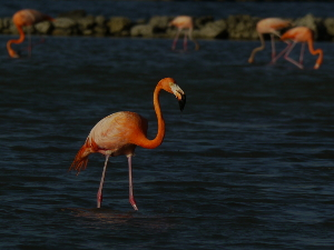 American flamingos can be found in several salt pans.